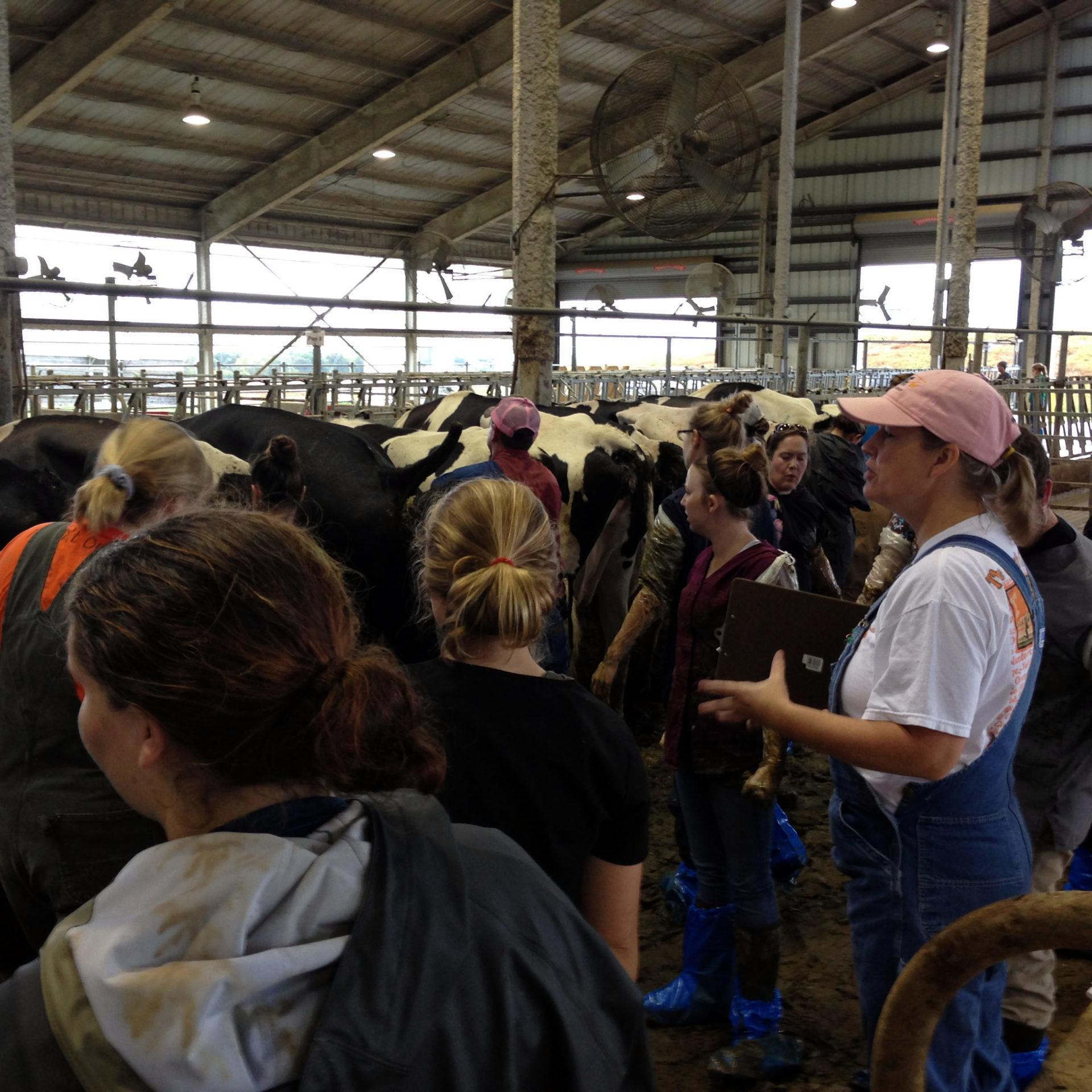 Students at the Dairy Farm working with dairy cows
