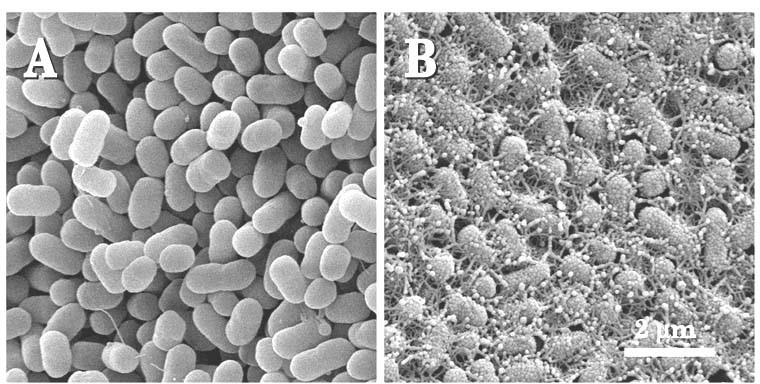 Certain strains of Escherichia coli