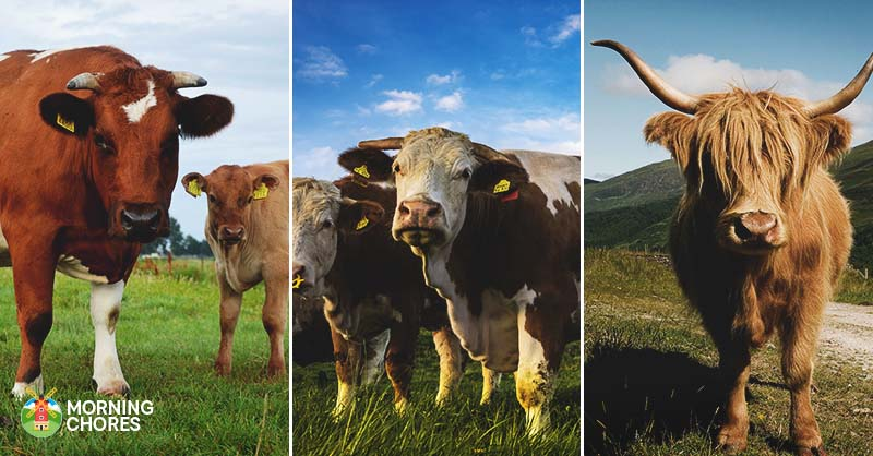 pictures of cattle in a field