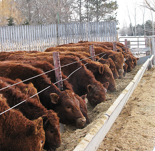 several cattle eating together from a bunk