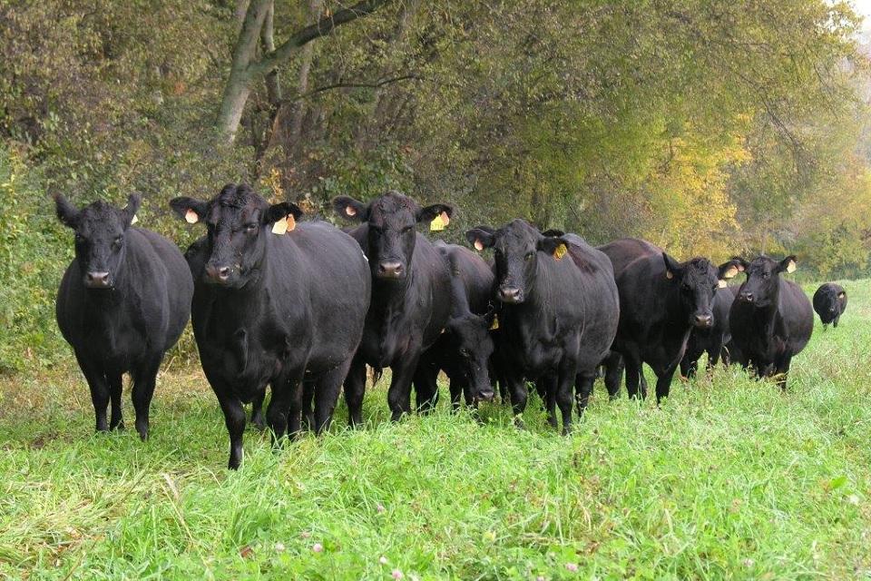 A herd of cattle in a field