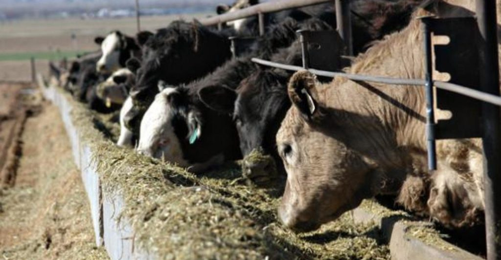 cattle feeding in bunks
