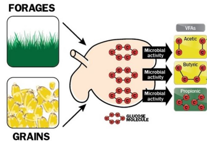 depiction of rumen breakdown of feedstuffs into energy