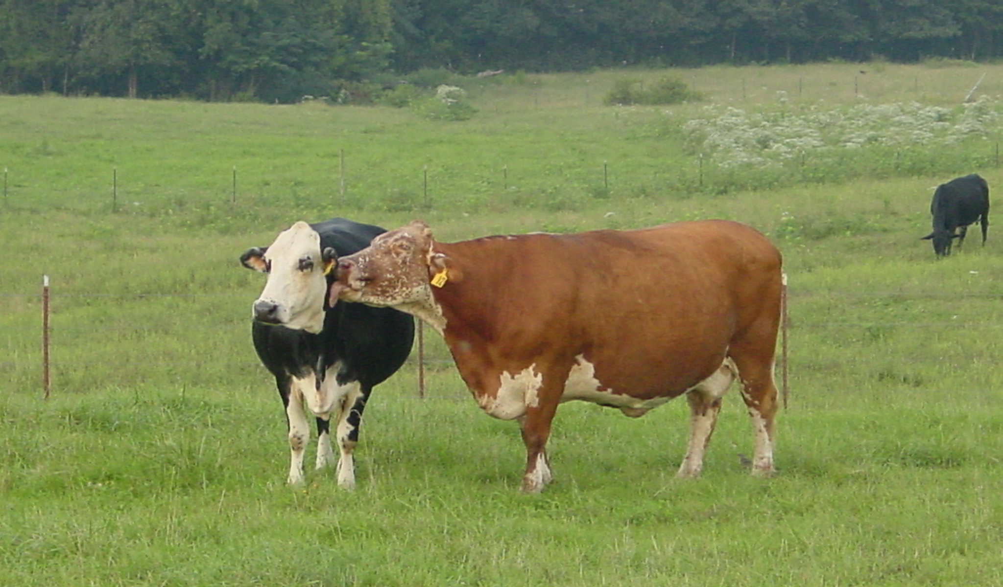 a brown cow licking a black and white cow