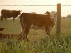calf looking through a fence