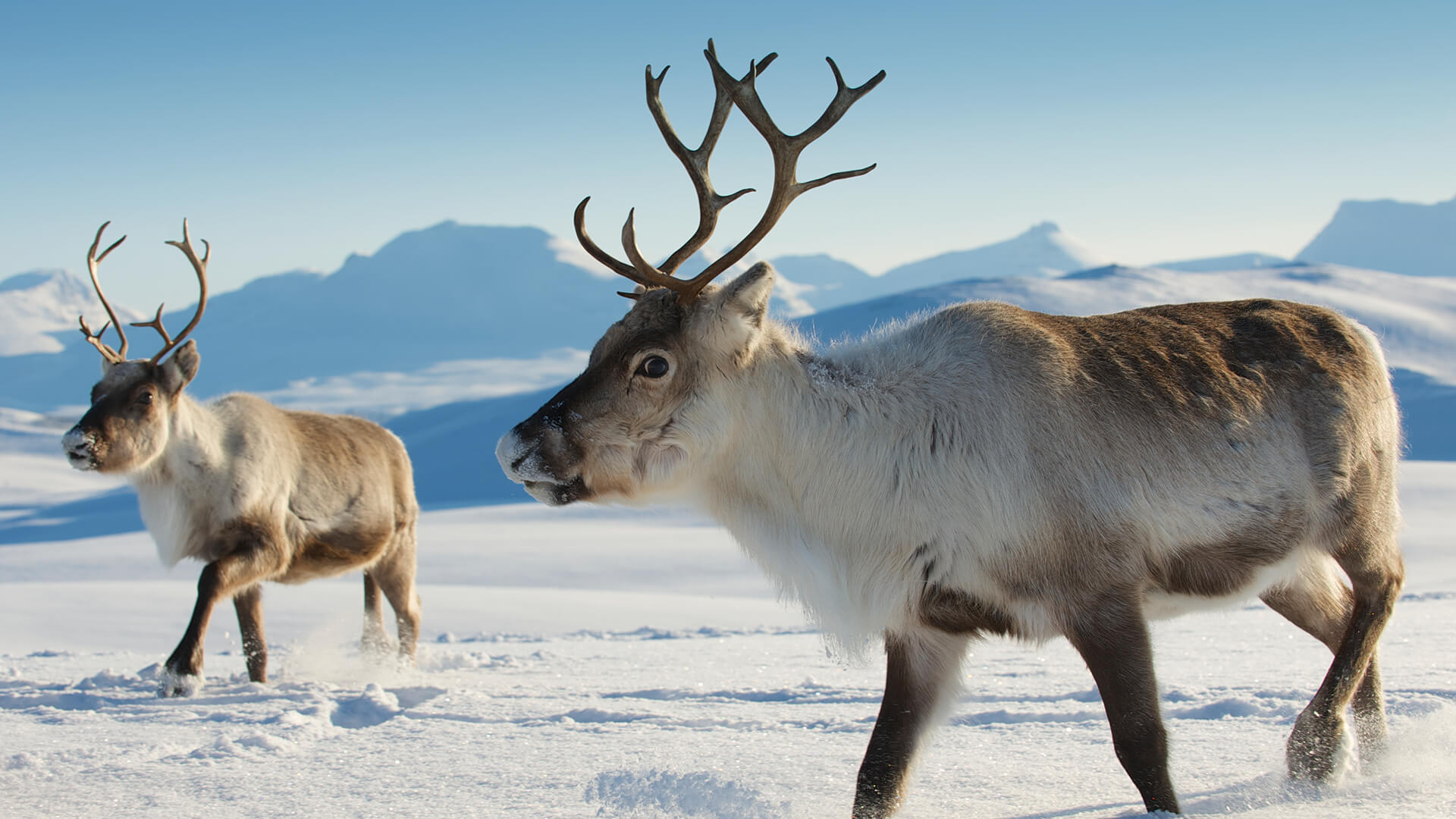 two reindeer walking together