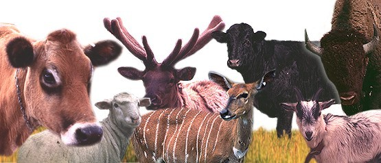 overlay image of multiple ruminant animals