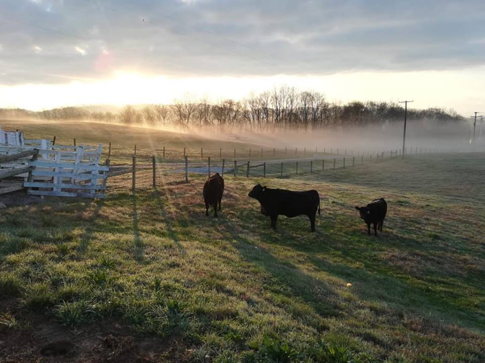 cattle standing in a field with some fog