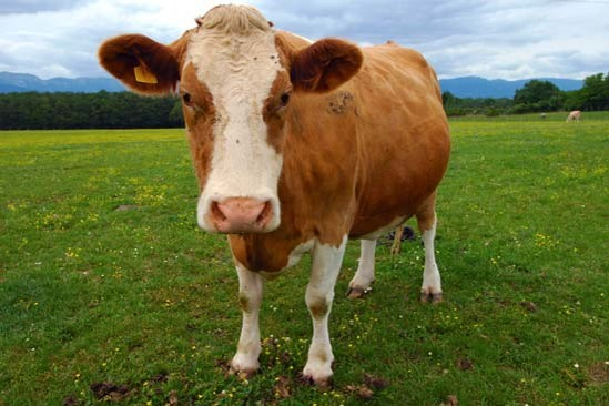 a cow staring into the camera
