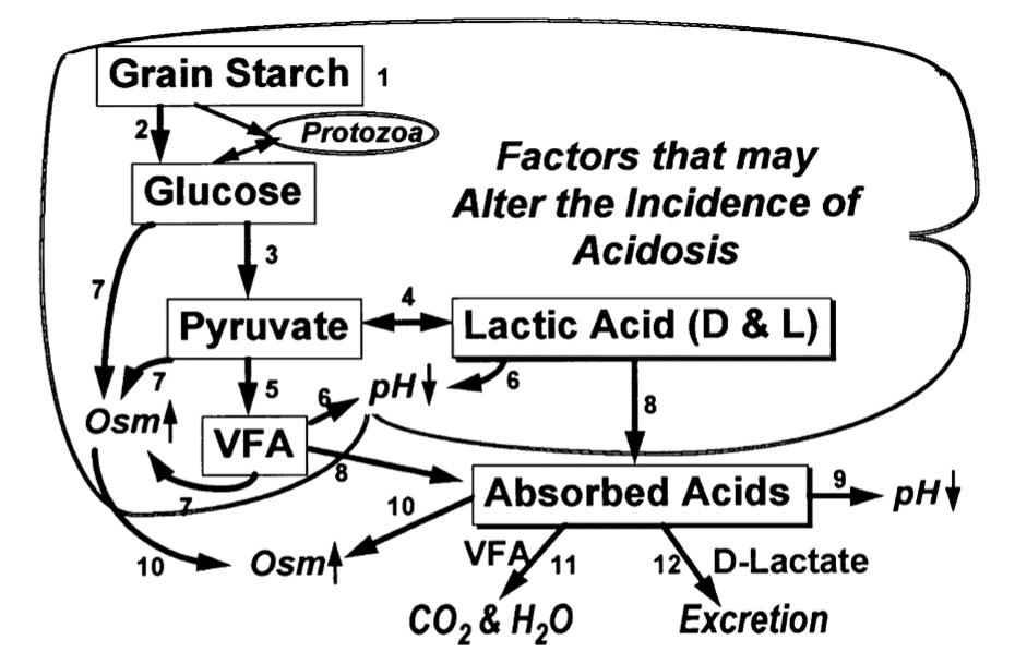 flow chart of starch breakdown in the rumen