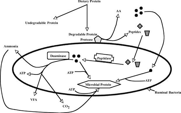 Flowchart of Microbial Protein Cycles