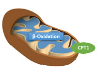oxidation and cpt1 moving through a muscle