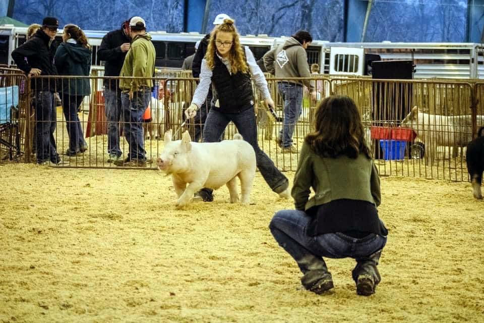 Abigayle as a judge at a hog show