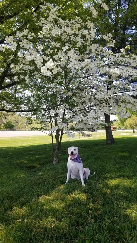 white dog sitting under a dogwood tree