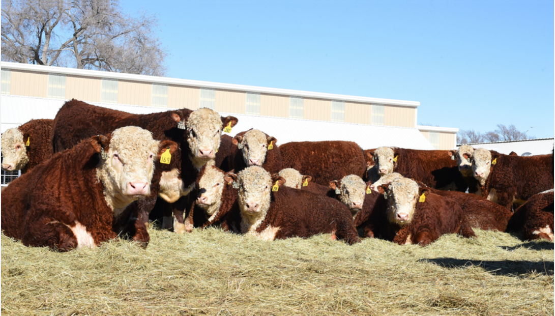 Cattle laying down