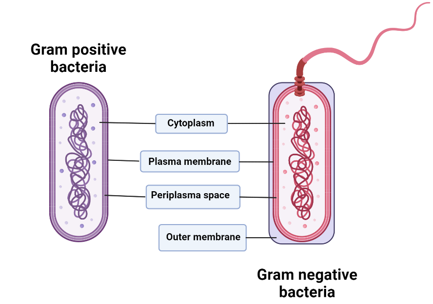 Image depicting the structure of Gram positive and negative bacteria